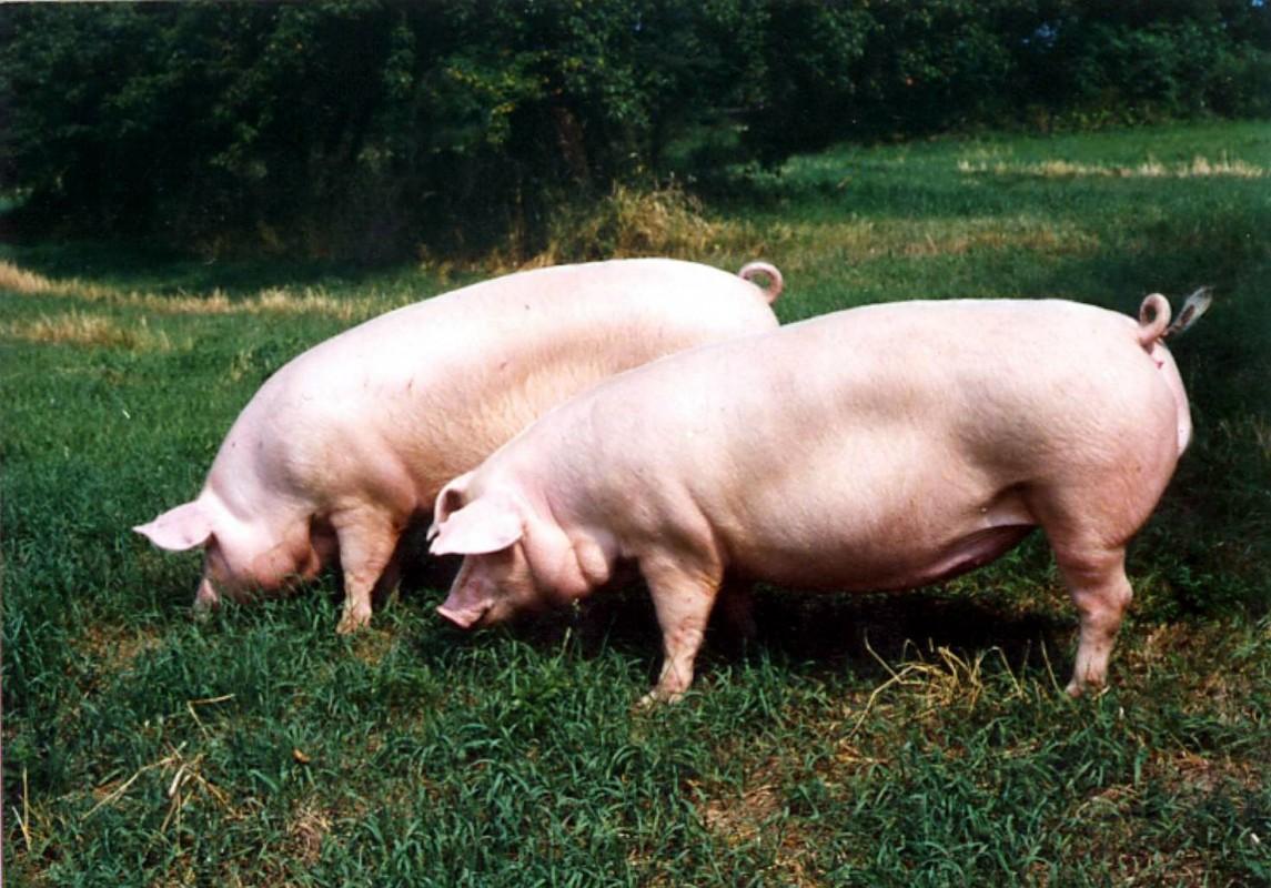 en pig
